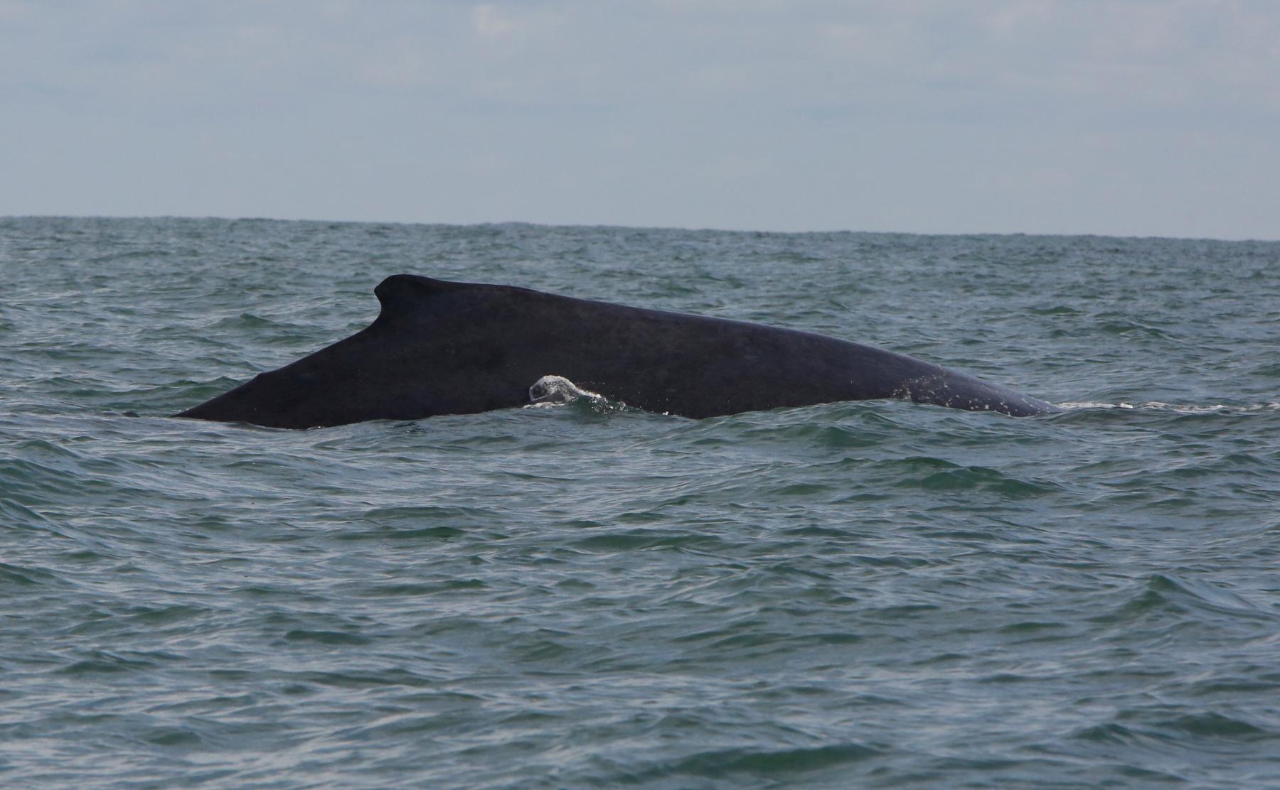 Avistamiento de ballenas jorobadas en el Pacífico colombiano