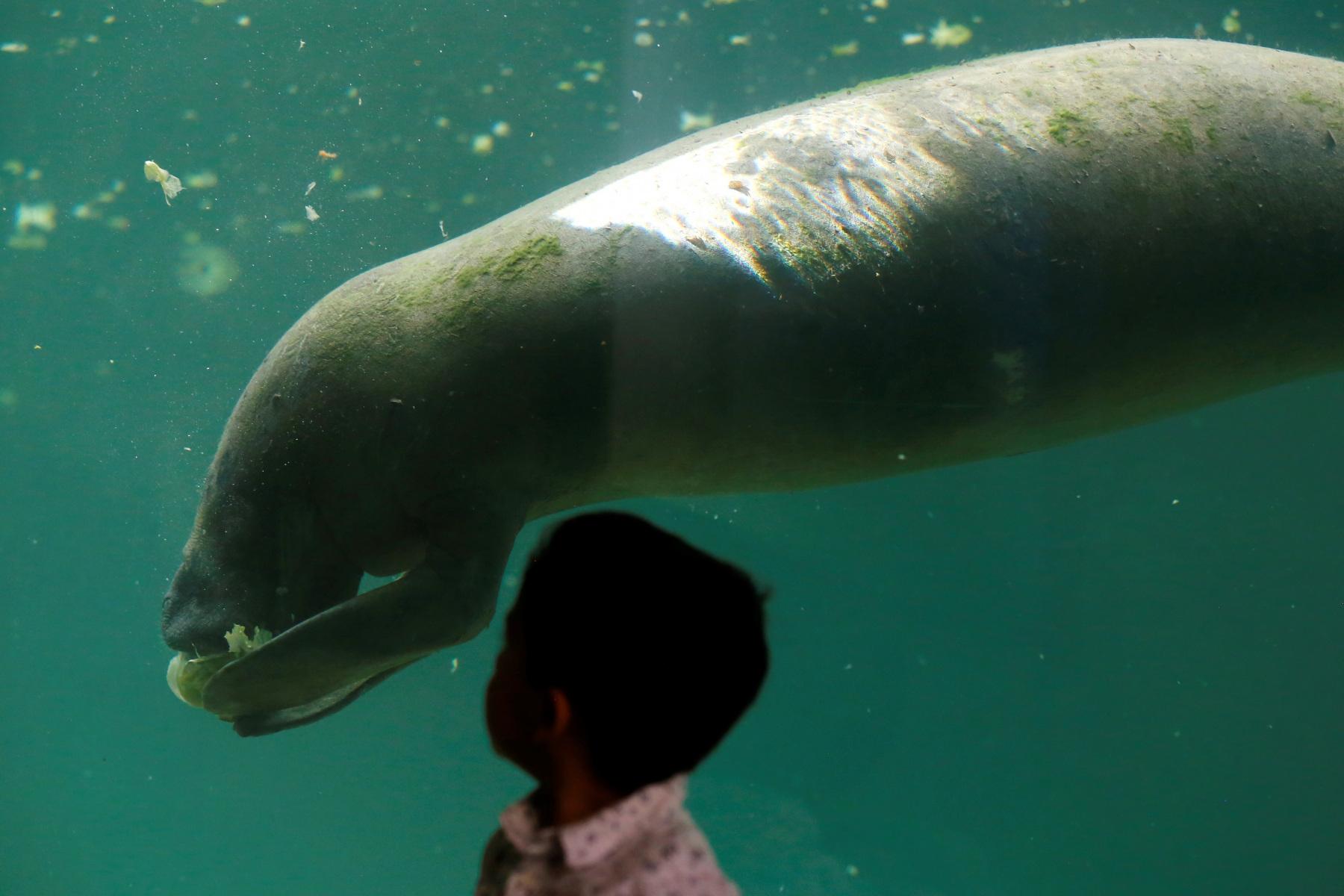 Dos manatíes estrenan hogar artificial en un zoológico de Guadalajara